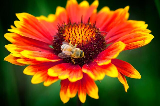 Indian Blanket flower with honey bee by Christie Chaney. This red and yellow flower is also known as blanketflower, firewheel, and Gaillardia pulchella.